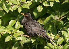 Blackbird - Turdus merula (Gary Faulkner's wildlife photography) Tags: blackbird turdusmerula