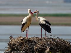 White Storks (xrxss15) Tags: andalucía animalia animals aves birds ciconiaciconia ciconiidae cotodedoñana europe parquenacionaldedoñana spain spanien storks tiere vögel weisstorch whitestork
