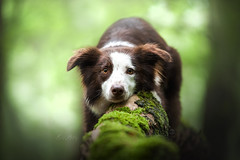 beautiful Mila (mona_hoehler) Tags: mila border collie dog pet animal model shooting nikon tamron forest summer outdoor beauty cute girl light