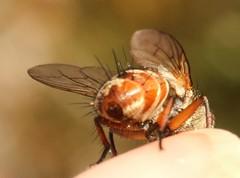 cf Linnaemya vulpina tachinidae (BSCG (Badenoch and Strathspey Conservation Group)) Tags: acm insect fly diptera dip tachinidae calluna heathland sunshine august