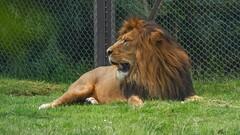 Le Roi de la Jungle (YᗩSᗰIᘉᗴ HᗴᘉS +17 000 000 thx) Tags: roi king lion pairidaiza zoo hensyasmine namur belgium europa aaa namuroise look photo friends be wow yasminehens interest intersting eu fr greatphotographers lanamuroise tellmeastory flickering
