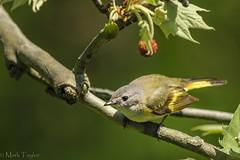 American Redstart (First year Male) (*Ranger*) Tags: nikond3300 nature outdoor tennessee usa bird woodland warbler
