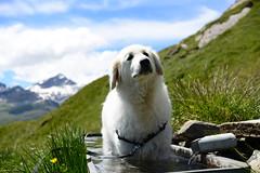 Aufmerksamer Beobachter (balu51) Tags: wanderung landschaft berge sommer heiss hund kuvasz ungarischerhirtenhund graubünden juni 2018 copyrightbybalu51