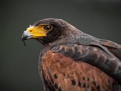 Harris's Hawk (MAICN) Tags: 2018 vogel wildlife wüstenbussard raubvogel nature bird harrisshawk buzzard tier greifvogel raptor natur animal