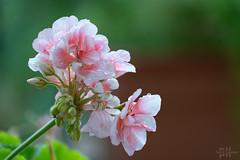 The calm after the storm (dancatph) Tags: flower flowers blooming petal pink droplets dew summer beautiful water stem garden floral closeup bokeh