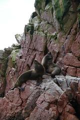 Fur Seal Mähnenrobbe Islas Ballestas Paracas Peru (roli_b) Tags: fur seal mähnenrobbe robee islas ballestas paracas peru nature animal landscape furseal 2018