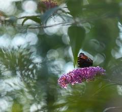 Aglais io (agnieszka.a.morawska) Tags: helios helios44m lato summer garden bkhq beyondbokeh bokehlicious bokeh rusałkapawik butterfly motyl aglaisio