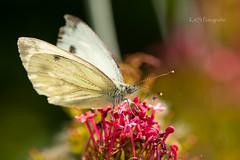 Schmetterling (K&S-Fotografie) Tags: schmetterling butterfly outdoor park nature plant flower white pink makro blume