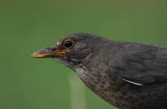 Blackbird (Laura.Kerr) Tags: blackbird turdusmerula birds bird wildlife animals nature