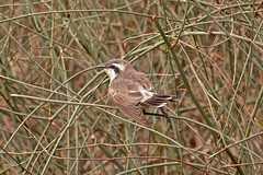 Black-eared Cuckoo (Rodger1943) Tags: cuckoos blackearedcuckoo australianbirds fz1000