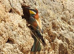 Abelharuco / European Bee-eater (Merops apiaster) (Marina CRibeiro) Tags: portugal algarve portimão riadealvor abelharuco europeanbeeeater meropsapiaster ave bird coraciforme meropidae