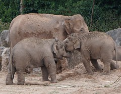 Family fun. Elephants at Chester zoo. (trishmcgrattan) Tags: playtime nature animals zoo playing smiles familyfun chesterzoo babyelephants elephants