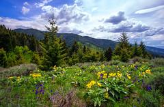 Triple Tree Trail View - Bozeman, MT (j-rye) Tags: wildflower sonyalpha sonya6000 sony a6000 ilce6000 mirrorless bozeman montana clouds tripletreetrail