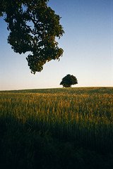 Fields of June - Yashica T3 (magnus.joensson) Tags: sweden swedish skåne field summer june yashica t3 tessar 35mm carl zeiss fuji industrial 100 c41 sunset