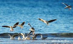Breakfast Time-DSC_3008 (SC.Yam off 20days) Tags: gulls redbilled gull