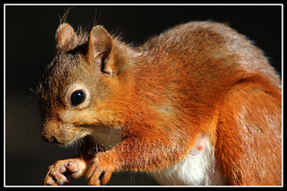 IMG_0018 Red Squirrel