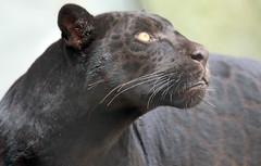 Jaguar Artis JN6A0935 (j.a.kok) Tags: jaguar zwartejaguar blackjaguar kat cat animal artis zoogdier zuidamerika southamerica mammal predator pantheraonca neron leya leia