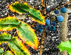 Urban Oregon Grape (ScottElliottSmithson) Tags: leaves holly leaf yellow blue color snoqualmie stripmall nature flora iphone scottsmithson scottelliottsmithson dtwpuck pacificnorthwest washingtonstate washington oregongrape