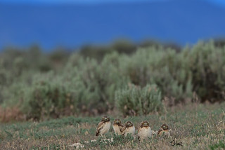 The Kids - Young Burrowing Owls lining up outside the burrow - 7382b+
