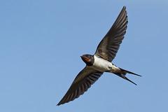 Hirondelle rustique A7305720_DxO (jackez2010) Tags: ilce7m3 fe100400mmf4556gmoss bif birdinflight hirondellerustique