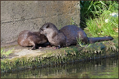 Otter (image 2 of 2) (Full Moon Images) Tags: wildlife nature animal mammal otter mother cub