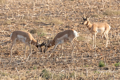 Pronghorn bucks battle while another watch