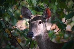 Javan rusa in Bali - 2 (Gomen S) Tags: asia bali indonesia tropical afternoon summer 2018 nikon 80400mm d500 wildlife nature animal forest deer mammal