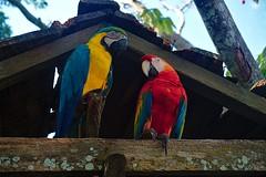 Aras couple (Jan Grela) Tags: colombia kolumbia leticia amazonas amazon jungle selva bird ara