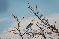 Twigs for Legs (JeffMoreau) Tags: twigs for legs sony a6300 200mm great blue heron barr lake state park denver colorado airport birds