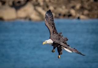 Bald Eagle Diving For A Fish