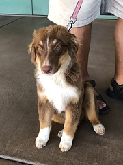 Neska (Webfoot5) Tags: dog dogs dogsonwalks dogzonwalkz australianshepherd