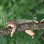 Squirrels in Ann Arbor at the University of Michigan (August 143th, 2018) thumbnail