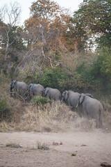 Elephants, Karongwe Game Reserve (mplatt86) Tags: elephant elephants herd trees ears animals animal nature natural family sand safari savannah tusks tusk game big five south africa