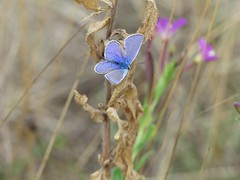 Common Blue-Albert village lake P1970638 (ianpreston) Tags: 2018 albertvillagelake commonblue derbyshire