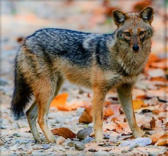 Wikipedia article of the day for August 17, 2018 (brownfieldtxseo) Tags: wikipedia article day golden jackal