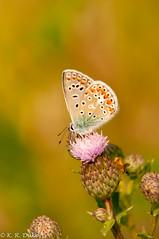 Common Blue_Hauhechel_Bläuling_-- (Kenray44) Tags: butterfly commonblue hauhechelbläuling polyommatusicarus schmetterling macro freehand nikond300s sigma 70200mmf28iimacrohsm auenlandschafthohenrode
