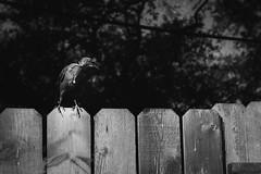 Tough bird (Tednoir) Tags: mono monochrome blackwhite blackandwhite bnw bw bird nature city bokeh contrast black white fuji fujifilm wild bright natural urban dof