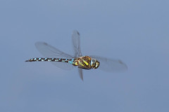 Migrant hawker (colin 1957) Tags: southernhawker dragonfly migranthawker