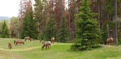 ELK (Rob Patzke) Tags: forest nature tree green eating pines fiels panasonic lumix lx100 elk family canada rockies