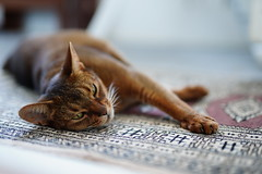 Lizzie relaxing on the Carpet (DizzieMizzieLizzie) Tags: sony ilce7m3 sigma 50mm f14 dg hsm | art 018 abyssinian aby lizzie dizziemizzielizzie portrait cat feline gato gatto katt katze kot meow pisica neko gatos chat ilce 2018 bokeh hot summer night sonya7miii oriental carpet relaxing pet sport