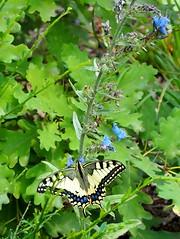 fecskefarkú lepke terjőke kígyósziszen / swallowtail on blueweed (debreczeniemoke) Tags: nyár summer erdő forest rovar insect insecta lepke butterfly fecskefarkúlepke oldworldswallowtail commonyellowswallowtail swallowtail papiliomachaon pillangófélék papilionidae növény plant virág flower terjőkekígyószisz vipersbugloss blueweed echiumvulgare borágófélék boraginaceae olympusem5