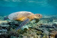 Cruising || LEI (David Marriott - Sydney) Tags: queensland australia au qld lady elliot island great barrier reef ikelite turtle green lagoon sea ocean snorkelling