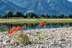 Klatschmohn mit Neuschwanstein im Hintergrund (stefangruber82) Tags: alpen alps bavaria bayern flower blume blüte papaverrhoeas commonpoppy mohn poppy castle neuschwanstein neuschwansteincastle