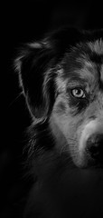 Naska (morgane.machard) Tags: australianshepherd aussie bergeraustralien dog photography nikon blackandwhite
