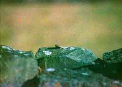 9 (terrible_volk) Tags: film slide agfact100 rhosili beach cymru wall stone