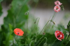 small poppies in grass (Ola 竜) Tags: poppy red poppies pink flowers orange flower helios44m4 fujifilmxt10 dof grass green leaves plant nature garden lawn bokeh manualfocus flowerbuds wildflowers