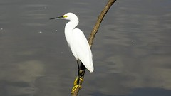 Garcinha (sileneandrade10) Tags: sileneandrade ardeidae egrettathula snowyegret ave animal sony sonydschx400v parque pássaro