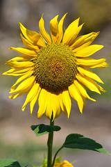 DSC_3326 (sylvettet) Tags: 2018 sunflower yellow jaune