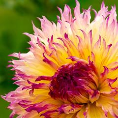 Dahlia (Janos Kertesz) Tags: flower macro pink garden background summer nature beauty blossom color plant red closeup bloom