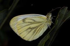 roosting green-veined white (David_W_1971) Tags: butterfliespieridae smog2018